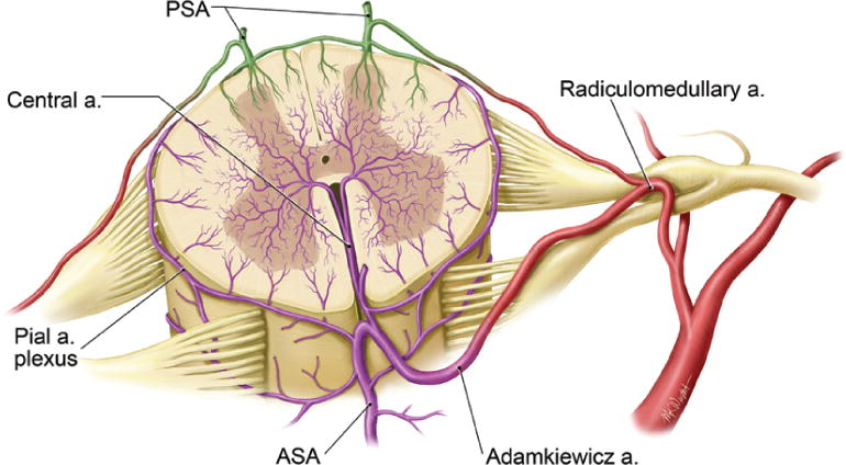 Blood Supply And Vascular Reactivity Of The Spinal Cord Under Normal And Pathological Conditions In Journal Of Neurosurgery Spine Volume 15 Issue 3 2011 Spinalcord injury programme a comprehensive series of. blood supply and vascular reactivity of