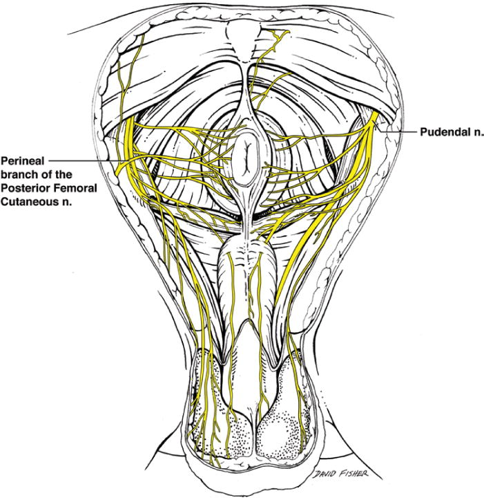 Surgical and anatomical landmarks for the perineal branch ...