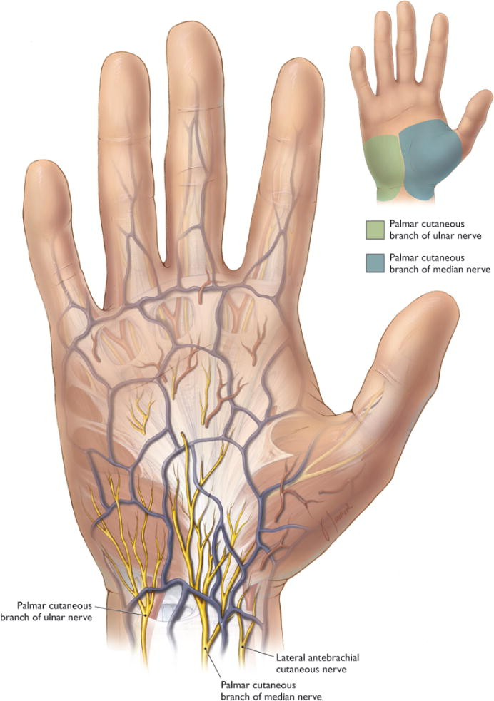 Anatomy Of The Palmar Branch Of The Ulnar Nerve Application To