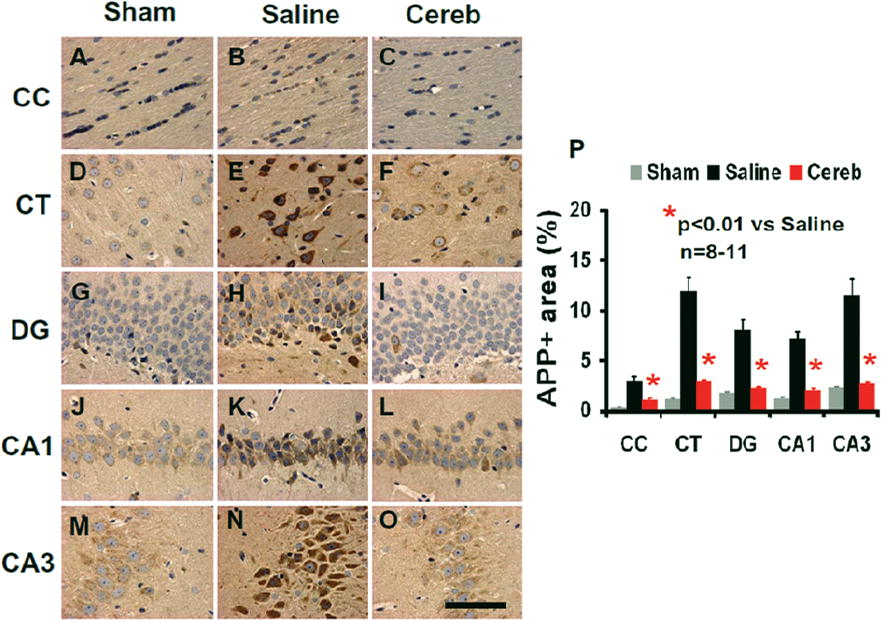 Cerebrolysin improves cognitive performance in rats after