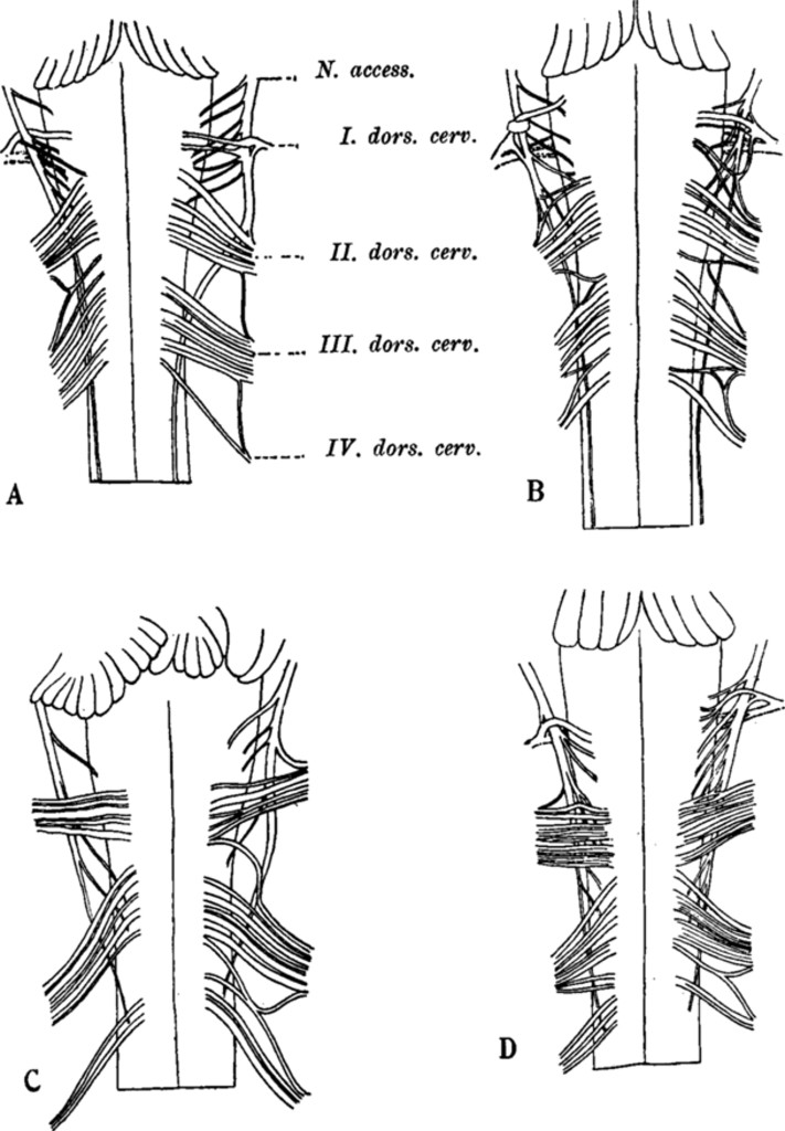 Anastomoses Between Cervical Nerve Roots In Journal Of Neurosurgery