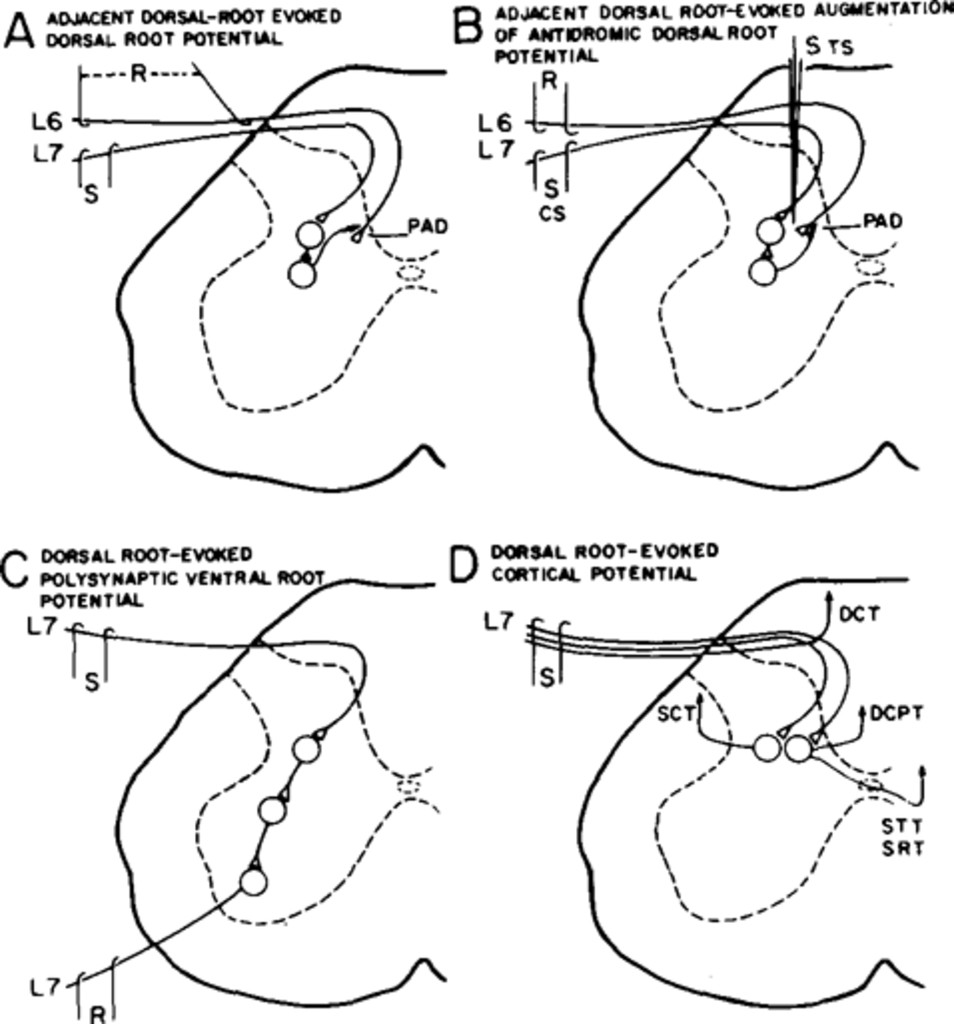 concussive head injury producing suppression of sensory transmission Spinal Cord Structure fig 1