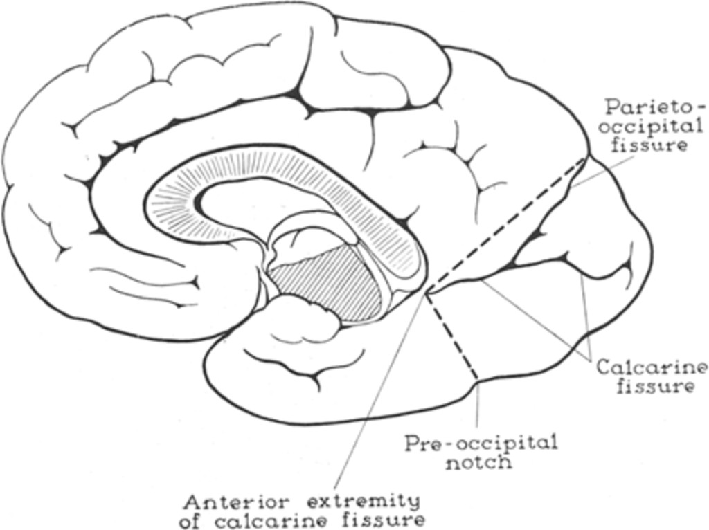 Tumors Of The Occipital Lobe In Journal Of Neurosurgery Volume 7