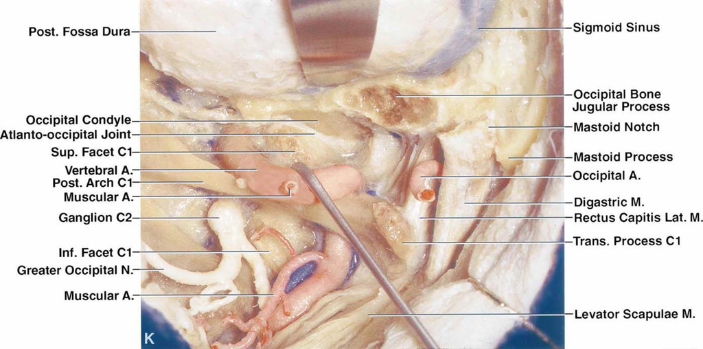 Microsurgical Anatomy Of The Transcondylar Supracondylar And